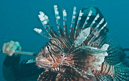 One down: A lionfish is caught in the waters of Bermuda. *Photo by Chris Burville