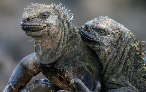 Islanders once tried to introduce the Galapagos marine iguanas to Bermuda. *Creative Commons photo by Charlesjsharp