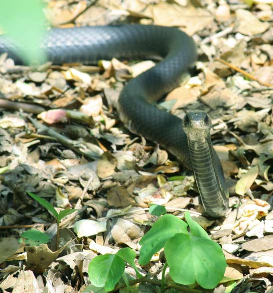 Earlier this summer a snake was found on Tucker's Point Golf Course, like the one pictured above. *Creative Commons photo by Sfullenwider