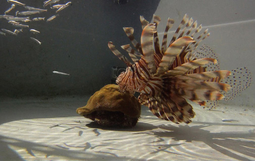 Delicacy: A lionfish. *Photo by Tim Noyes