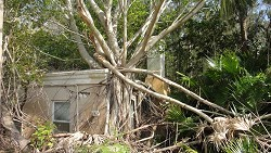 Taking over: An invasive Indian laurel tree engulfs a house. The huge root system of this plant can be extremely damaging to buildings and stonework and it is considered a threat to Bermuda's buildings as well as the natural environment. <em>*Photo supplied</em>