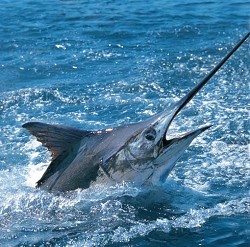 Over-fished: Experts are worried about diminishing marlin stocks in the Atlantic. <em>*Photo courtesy Bermuda Dept. of Tourism</em>