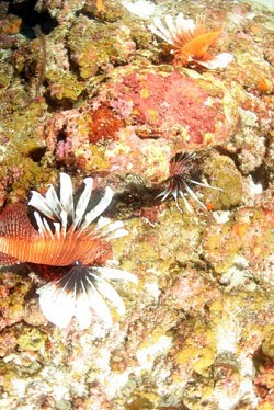 THree lionfish crowd around a tiny part of reef in deep water. *Photos by Ondrej Hindl/Ocean Support Foundation
